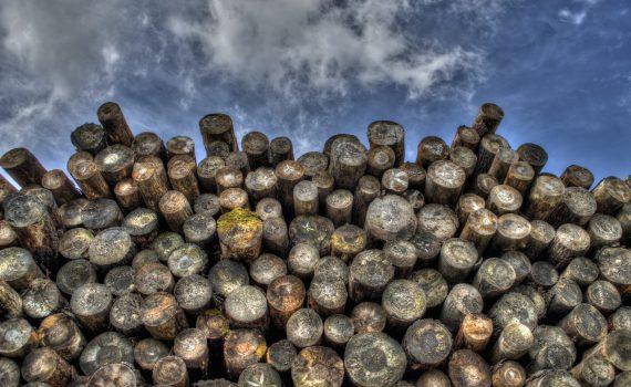 Für den Netzausbau in Magdeburg müssen hunderte Bäume gefällt werden.
